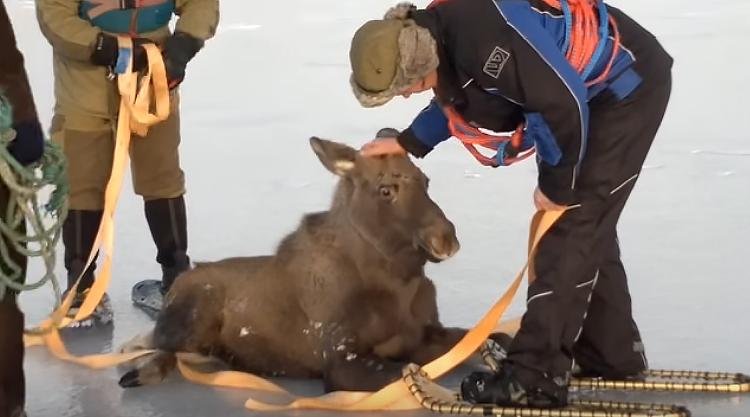 Un élan sauvé de la glace du Fjord ce weekend