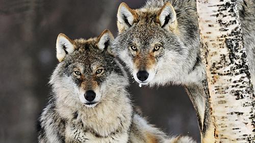 Le tribunal d'Oslo a statué en faveur du loup