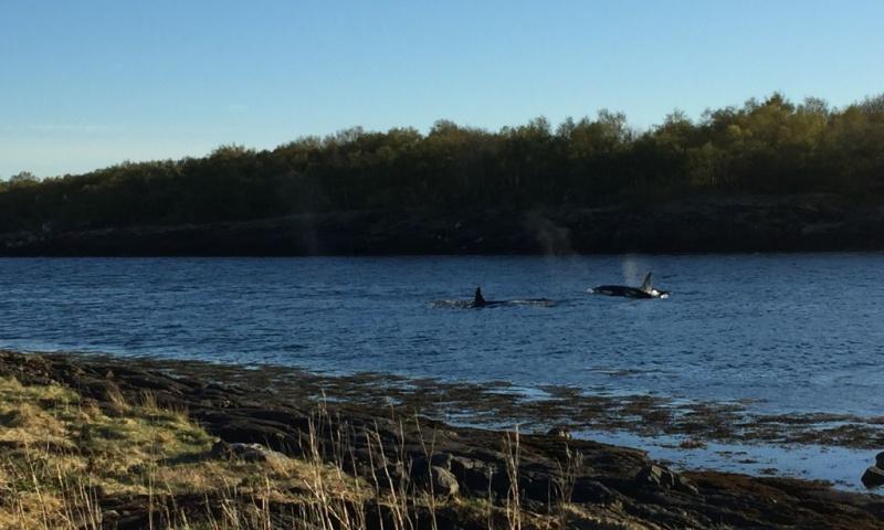 Coopération franco-norvégienne pour le sauvetage réussi des orques piégés à Brønnøysund