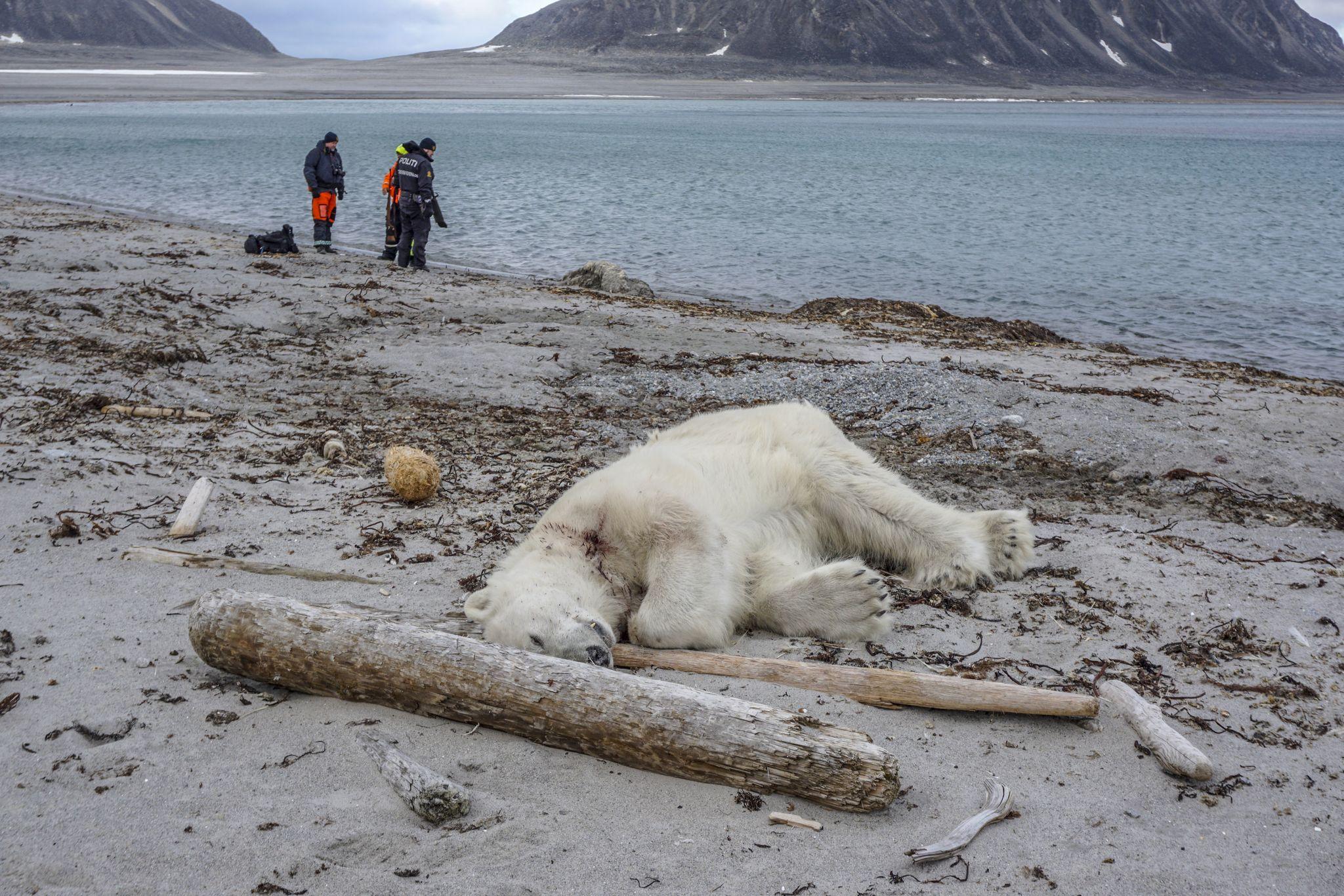 Un ours polaire abattu au Svalbard après avoir attaqué un homme