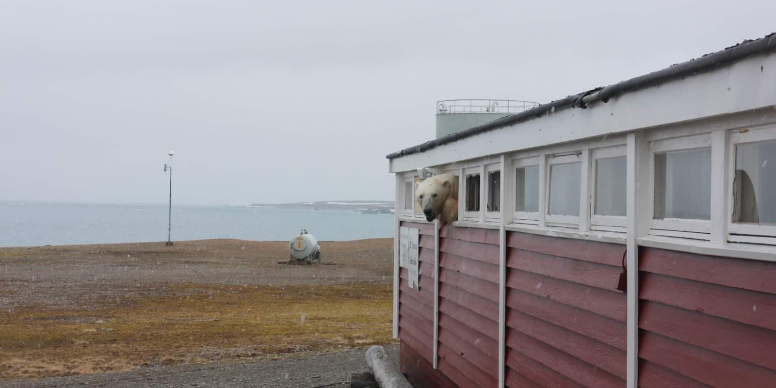 Svalbard : Un ours polaire s'introduit dans un bâtiment pour manger du chocolat