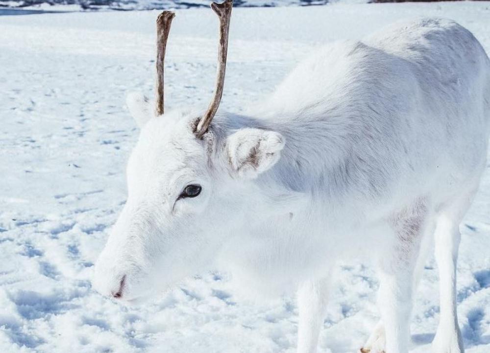 Les photos d'un bébé renne blanc font le tour du monde