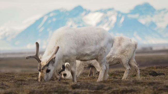Plus de 200 rennes morts au Svalbard à cause du changement climatique