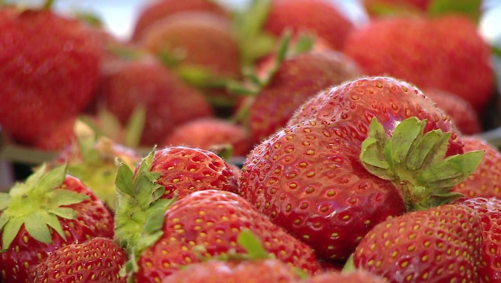 Une fin de saison prématurée des fraises à cause de la chaleur