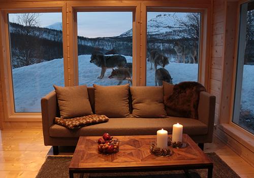 Vivre au milieu des loups, c'est possible en Norvège !