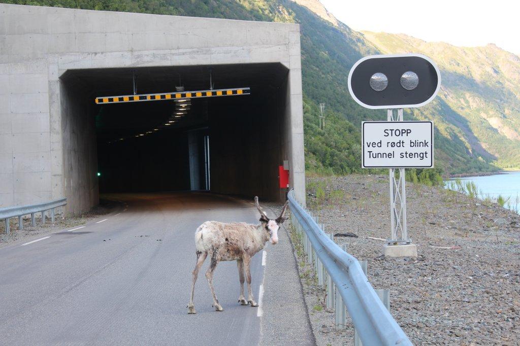 Attention aux rennes et moutons dans les tunnels au nord de la Norvège
